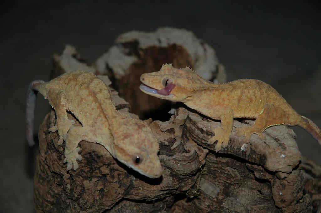 Genevieve's Geckos - A New Standard - Home